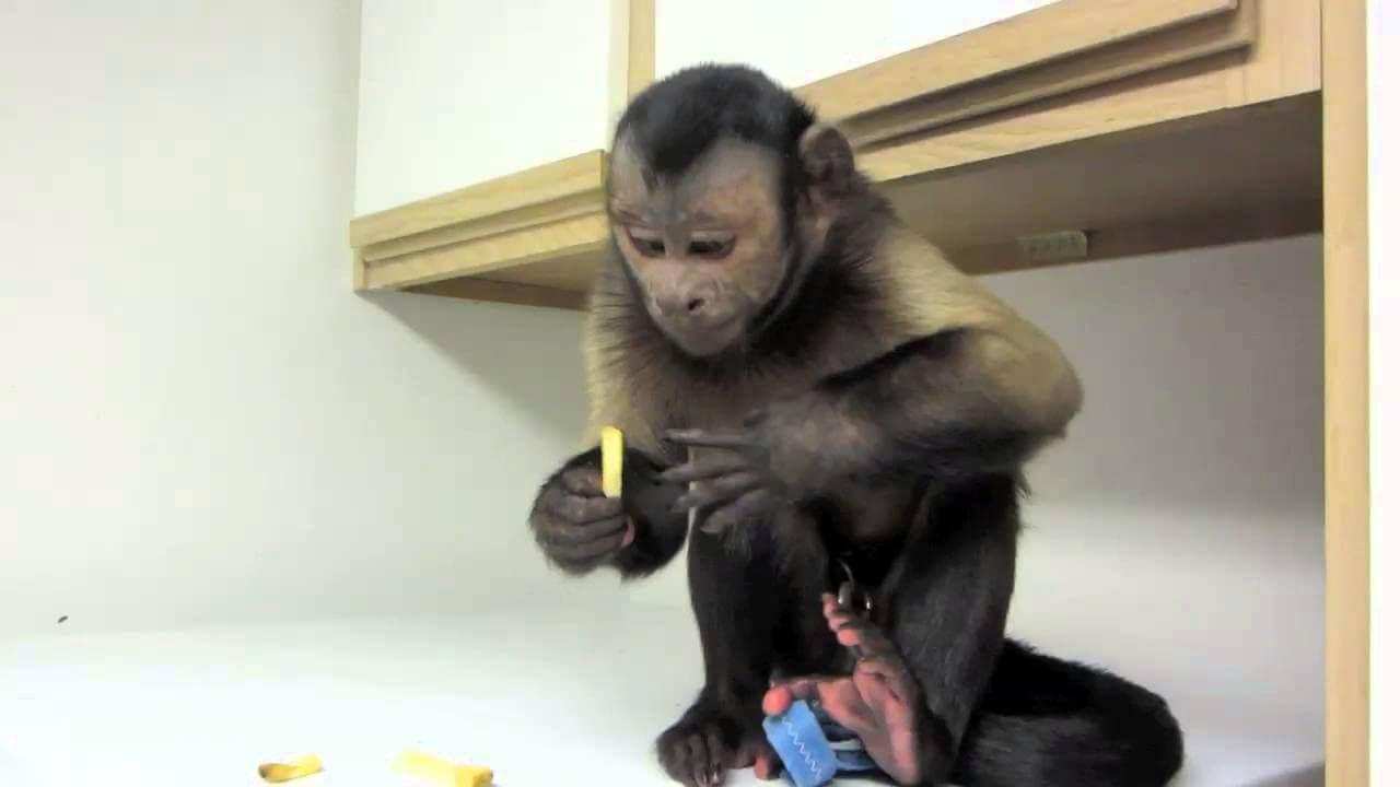 Ty Beanie Babies 36182 Boos Boris the Monkey Boo