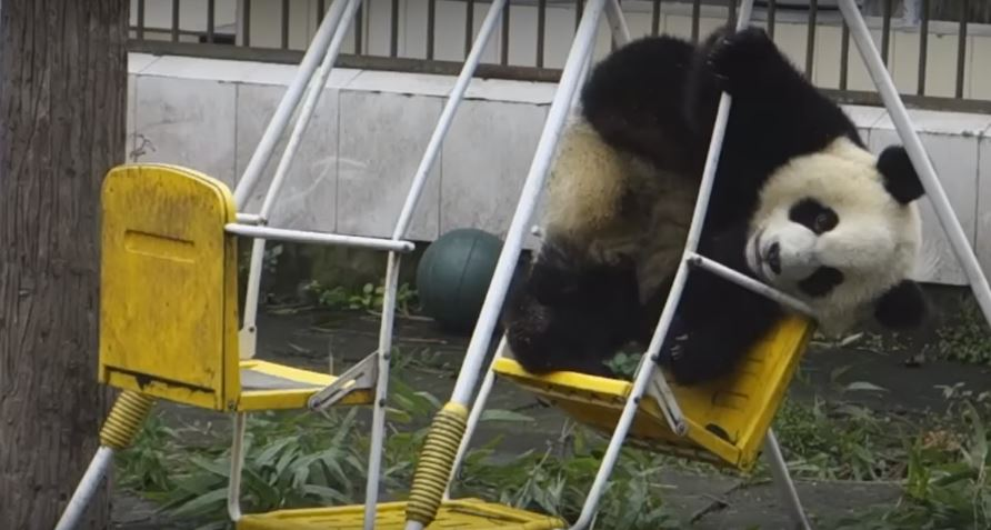 Panda Loves Chilling Out On The Swing  This Is So Adorable